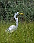 An egret seen while kayaking on Manklin Creek and its branches.
