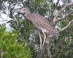 An immature yellow-crowned night heron seen while kayaking at Assateague 8/26/2007.  See Msg# 485300 
