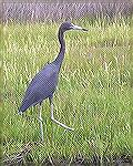 One of several little blue herons seen while kayaking at Assateague 8/26/2007.  See Msg# 485300.