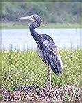 A tricolored heron seen while kayaking at Assateague on 8/26/2007.  See Msg# 485300.