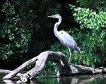 8/1/2009 –A great blue heron seen while kayaking near Millsboro Pond.