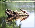 8/1/2009 – Many large turtles were out in the sun on Millsboro Pond.