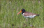 Oyster catcher on marsh in West Ocean City, Maryland.