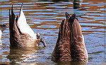Canada geese feeding at the South Gate Pond, Ocean Pines, Maryland.