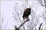 The Eagles are back. I'm always on the lookout when I do my daily walk around the South Gate pond. First I thought I spotted a juvenile and then saw an adult in a tall tree. I ran home and got my bino