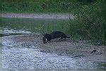Otter carries catfish back to the pond.