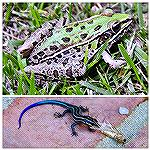 Southern Leopard Frog and Juvenile Five-Lined Skink -wildlife in the yard.