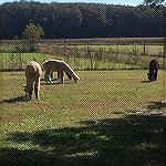 Alpacas on farm outside Berlin.